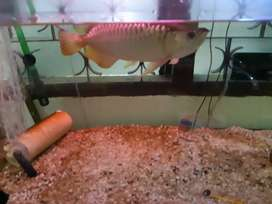 Jual arwana golden red