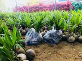 Imported Dwarf coconut seedlings