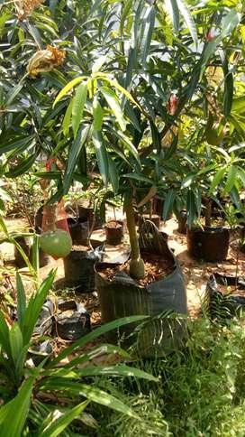 Distributor bibit tanaman buah