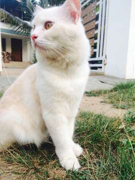 Male and female persian cat for sale