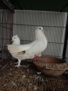Lakka breeder pair with self chicks