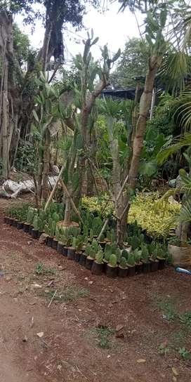Taneman Kaktus centong
