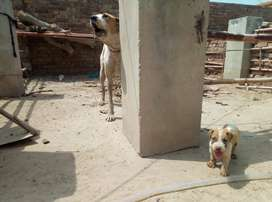 Pure Bull dog kids high quality(bachay & mother)