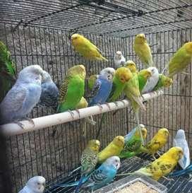 Jual Burung Parkit Bon Siap ternak