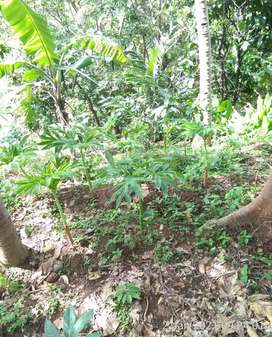 Di jual tanah/kebun duren+ tanaman porang produktif