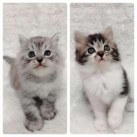 Kucing persia flatnose sepasang