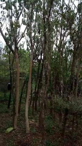 Pohon trembesi berdiameter 8 cm