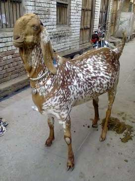 Qasai available for bakra and dumba