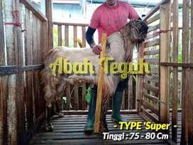 Sapi dan kambing persiapan nya Qorban
