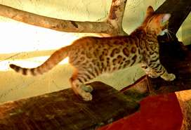 BENGAL CAT KITTEN MALE AVAILABLE
