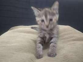 Kitten persia betina 2,5 bln