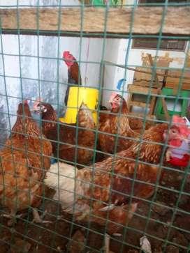 Jual Ayam Petelur umur sekitar 8bln + Jago Bangkok + Mesin Tetas Telur