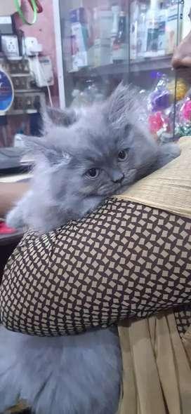 Cat Persian. 1 chubby n fluffy female kittens ..