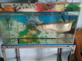 Ikan arwana silver Brazil 55cm