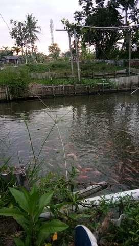 Ikan Nila Segar