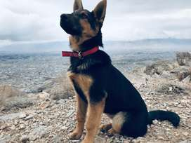 German Shepherd female stock coat  5 month 15 days 38 thousand