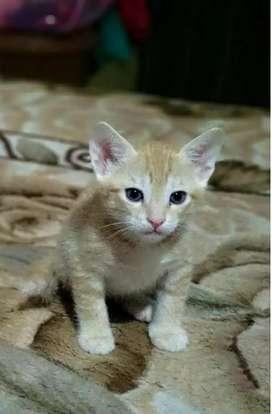 golden Kitten