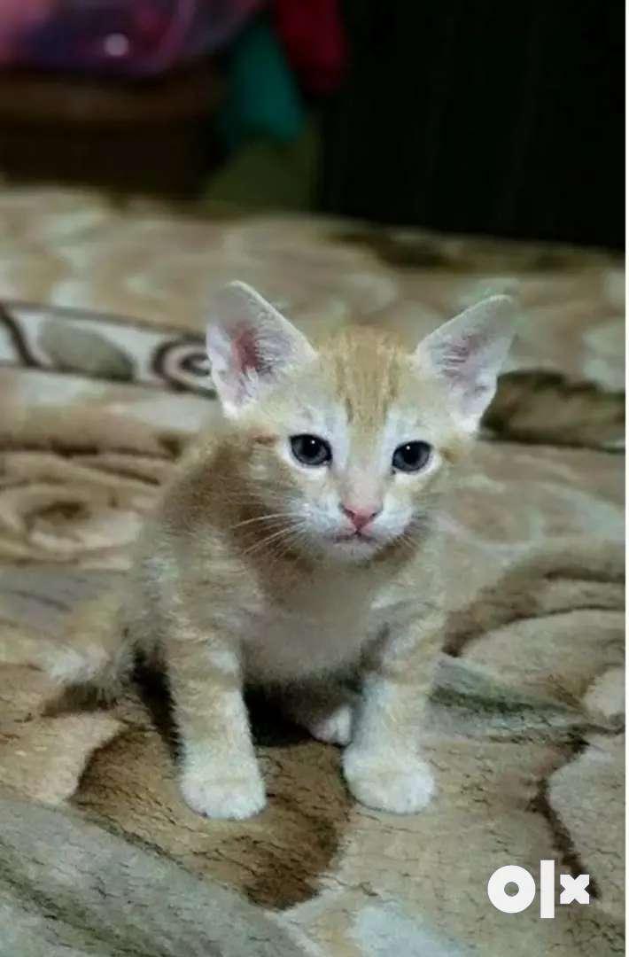 golden Kitten 0