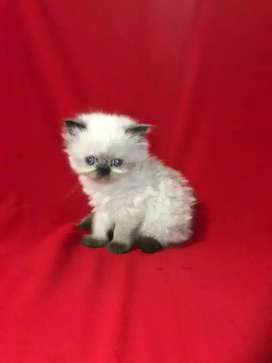 55 day all Persian kitten for sale