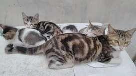 Adopsi Kucing Gratis Induk Motif Marble dan 2 Anak