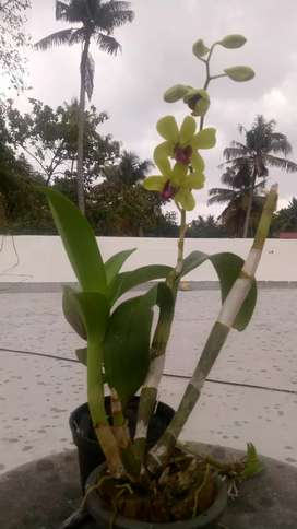Imported Malaysian Orchids