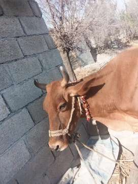 Jersey cow for sale (8 KG Milk production)