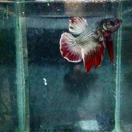 Ikan cupang atau betta Red Copper