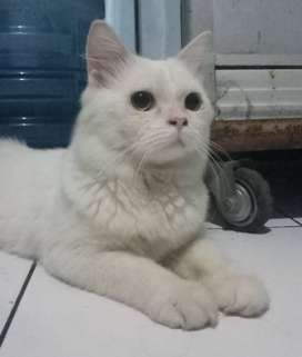 Kucing Persia Medium Platnose
