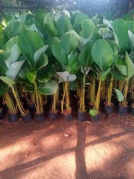 Jual tanaman perdu-tanaman hias kalatea