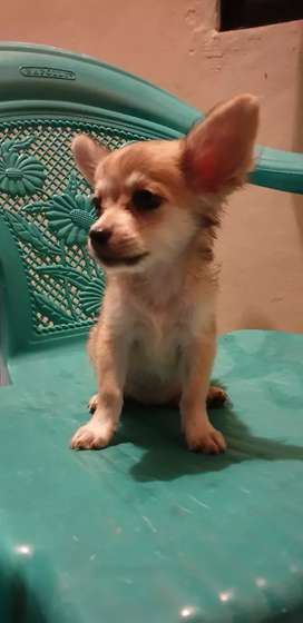 Anjing mini chihuahua long n short hair