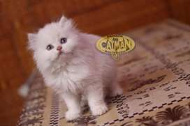 Persian kitten all color available