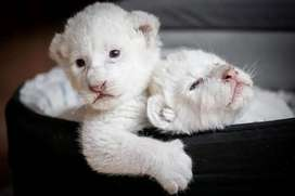 Lion cubs available