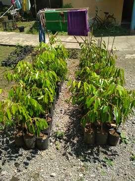 bibit durian kualitas unggul