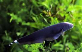 Hiasan Aquarium Ikan Black Ghost