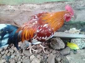 Jual Ayam Filipina Di Kota Soe, Kab. TTS, Propinsi NTT
