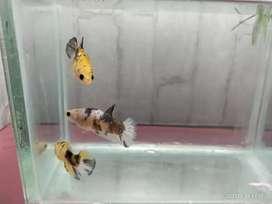 Cupang Betina Cantik Yellow