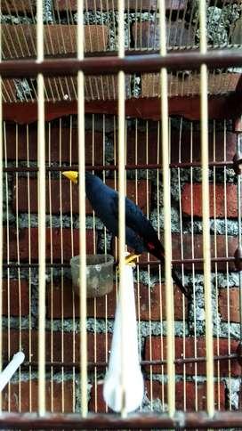Burung rio rio gacor dempetan murai