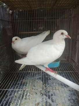 Burung merpati putih polos