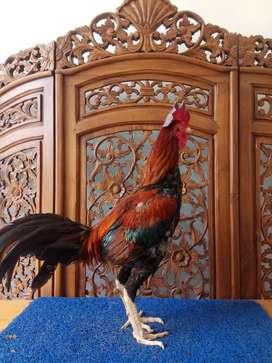 Ayam Aduan Khoythai di Aceh
