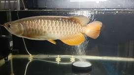 Arwana Golden red RTG