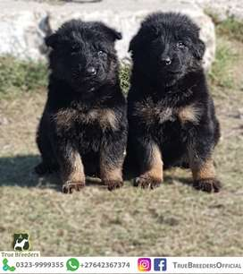 Male and Female Triple Coated Puppy For Sale