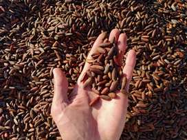 RS 1300 Fresh Chilgoza / Pine Nuts  (چلغوزہ)  Cash on Delivery