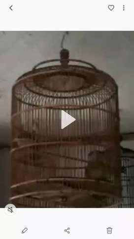 Burung perkutut lomba. Piyik jantan umur 3,5 bulan
