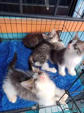 Kucing Persian medium jantan/betina