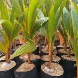 Pohon buah kelapa bibit