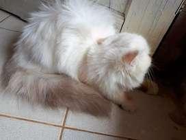 Kucing persia betina putih