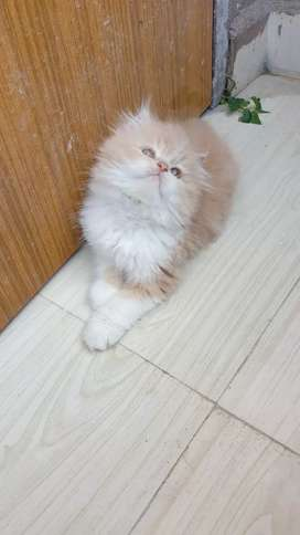 Long-fur Persian cat heavy bone kitten
