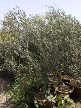 OLIVE PLANTS IMPORTED AVAILABLE.