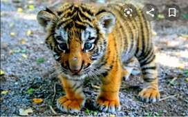 Bengal tiger available