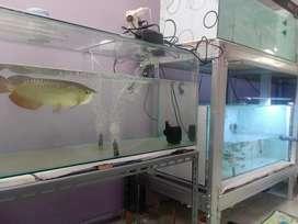 Ikan arwana silver premium murah, grosir ecer hobi siap angkut
